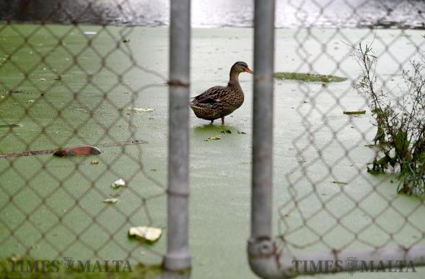 A duck stands in shallow water in the reservoir in Msida after more rain hit the island on February 9. Photo: Matthew Mirabelli