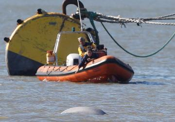 'Benny the Beluga' facing Christmas in the Thames far from home