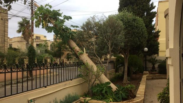 Anthony Mifsud's two-storey papaya tree fell victim to the weather.