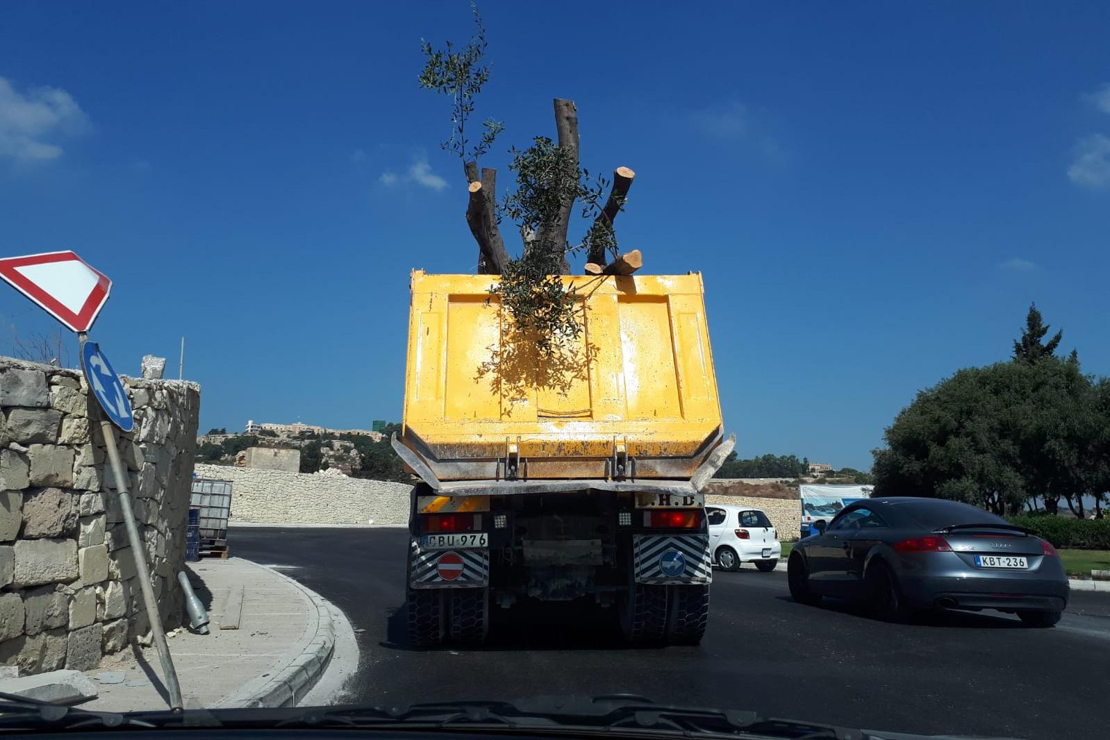 Trees being taken from Santa Luċija to their temporary home in Dingli for transplantation.