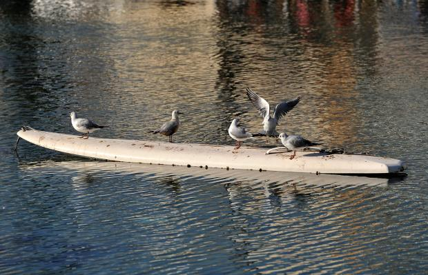 Seagulls rest on an old windsurf board in Gzira on January 31. Photo: Chris Sant Fournier