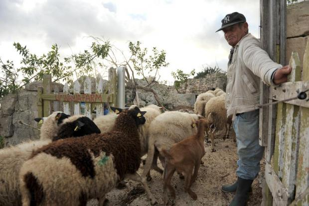 Shepherd Guzi Muscat opens a gate for his herd at Dingli Cliffs on January 7. Photo: Chris Sant Fournier