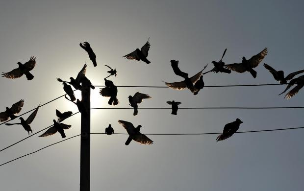 Pigeons take to the air on in Blata l-Bajda on August 30. Photo: Chris Sant Fournier