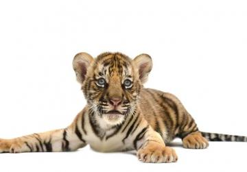 Teen handed six months in prison for smuggling Bengal tiger cub into US