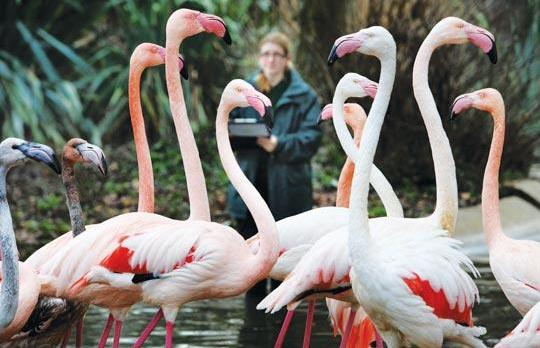 Handler Evelyn Guyett counting the zoo's flamingos. Photo: Anthony Devlin/PA Wire
