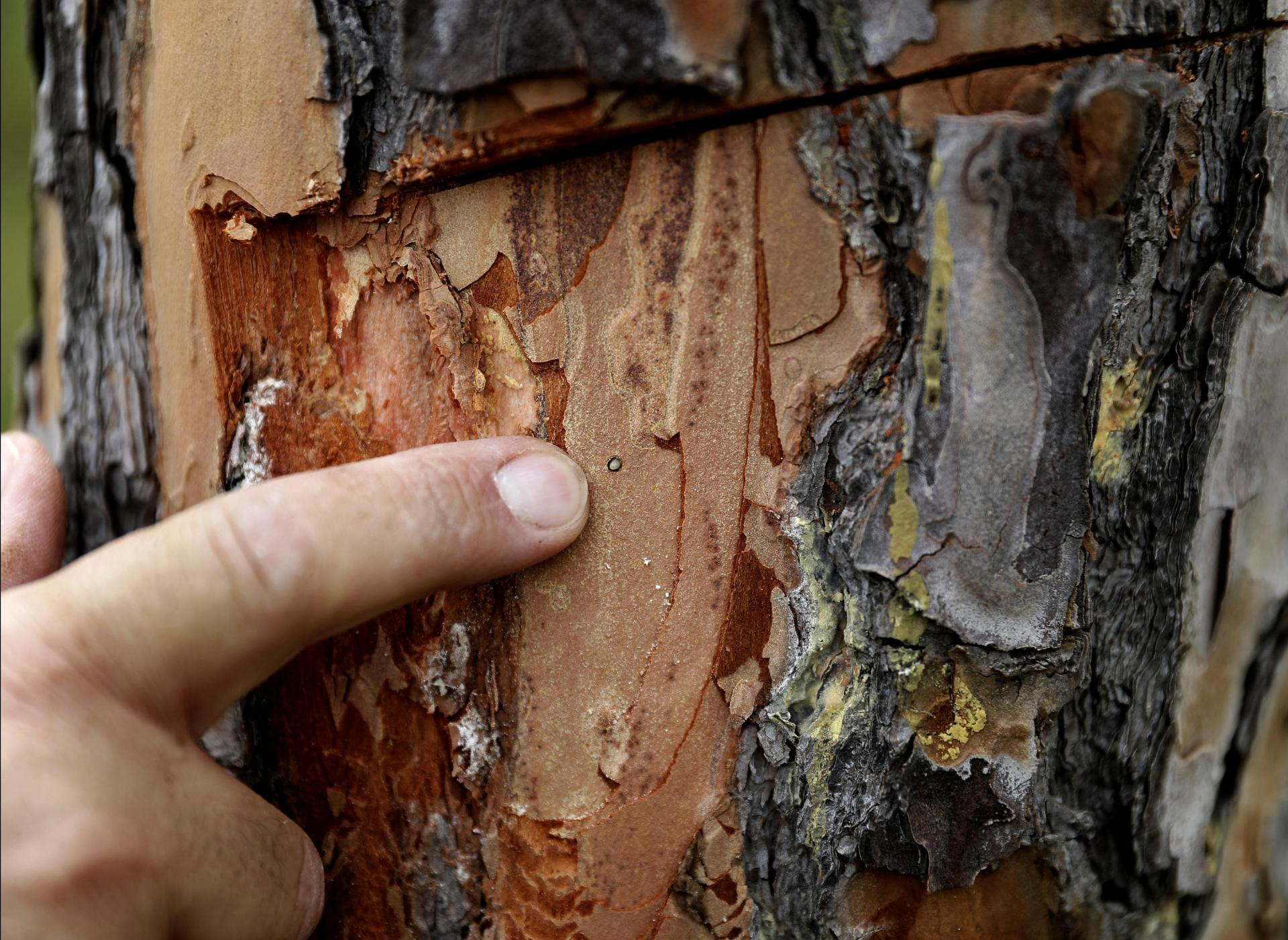 Nabil Nemer inspects a diseased pine tree for harmful insects.