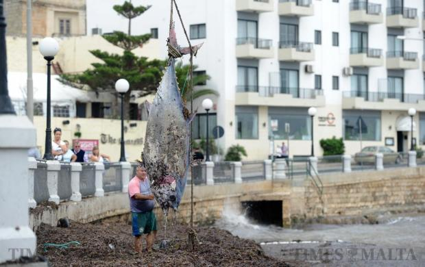 A large dead tuna is lifted off a beach following strong north-easterly winds in Xemxija Bay on October 30. Photo: Steve Zammit Lupi