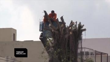 Watch: Anger as old Balzan trees are uprooted  | Video: Matthew Mirabelli