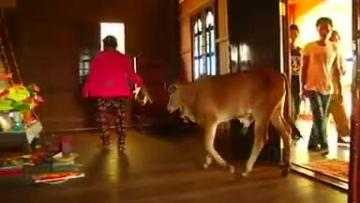 Watch: Woman marries calf, believing him to be her husband reincarnated