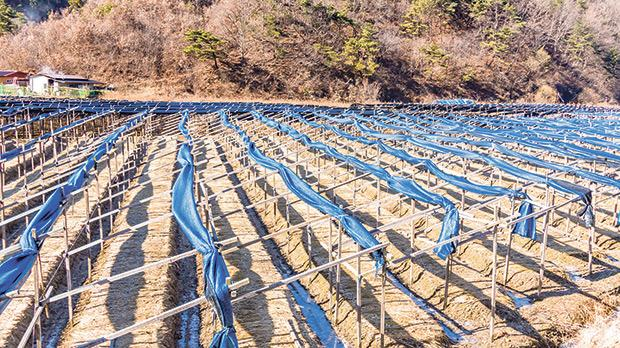 A red ginseng farm near Geumsan, in the Chungcheongnam-do province, three hours south of Seoul – the largest producer of ginseng.