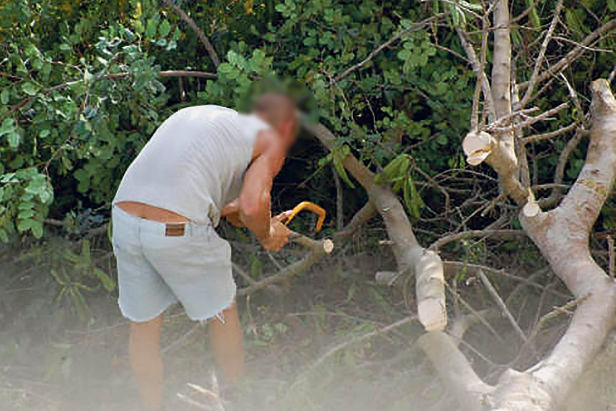 The carob tree being chopped down.