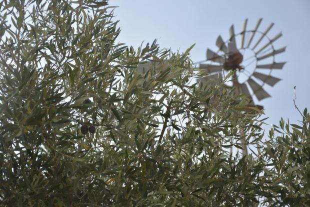 A windmill and olive trees are seen at the San Niklaw Estate in Żejtun on September 12. Photo: Mark Zammit Cordina