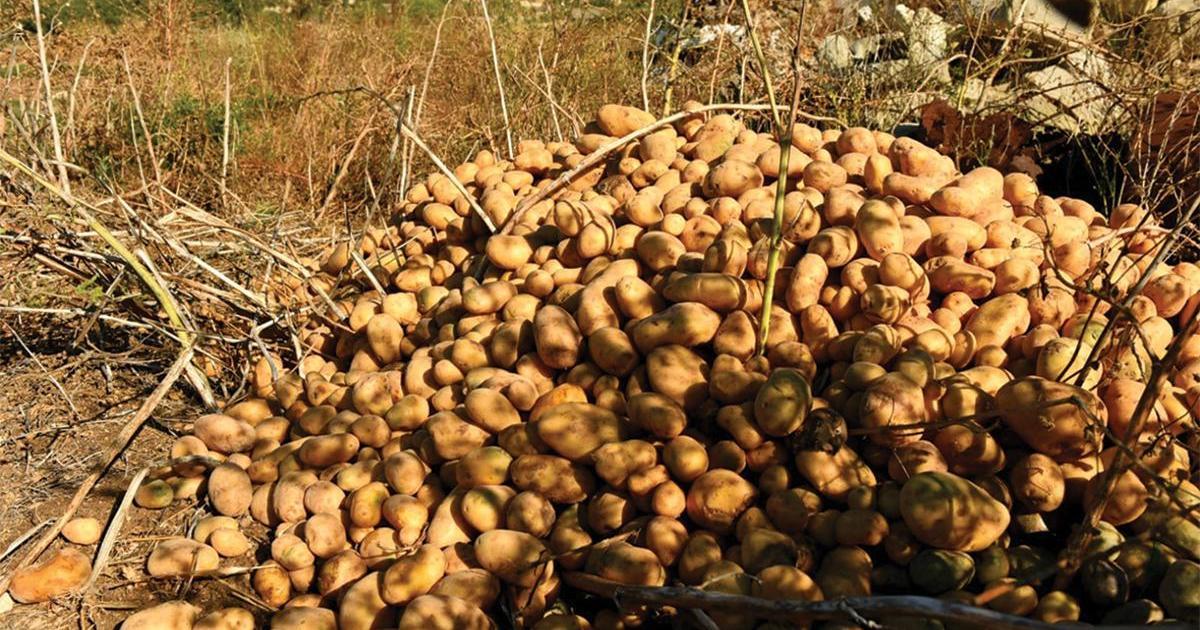 Malta's potato exports dry up