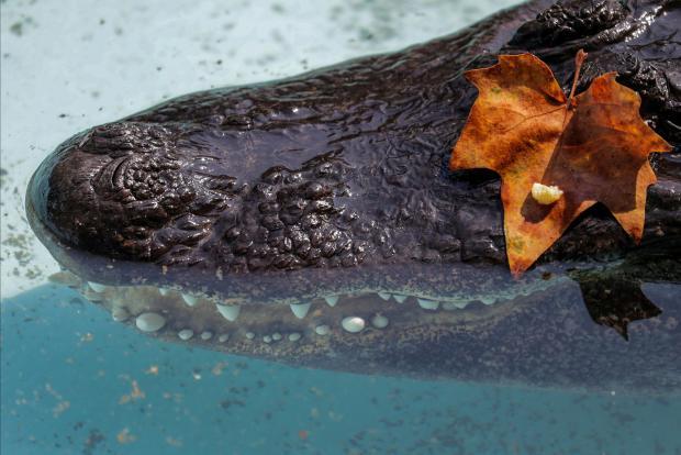 Muja the alligator. Photo: Reuters