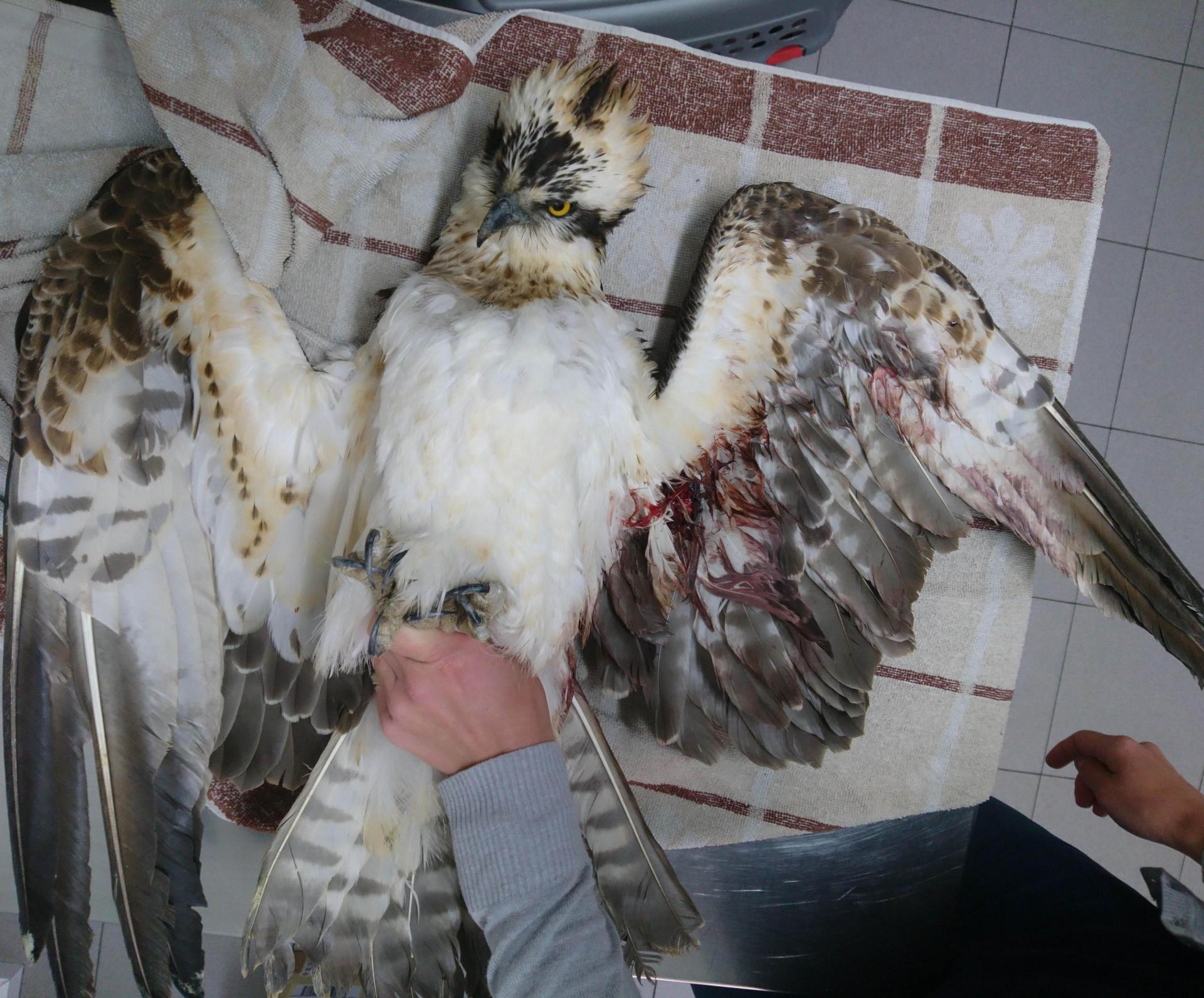 A shot osprey recovered from Xagħra. Photo: Nik Barbara, Birdlife