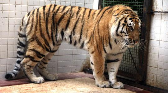 One of the two Siberian tigers, delivered by Russia in a swap deal with Iran in which Moscow has procured two Persian leopards, at the Tehran's Eram Zoo. One of the tigers has died, according to reports. Photo: STR/AFP