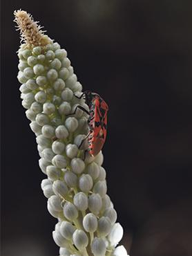 For large parts of the year, the soldier bug can be seen walking on the ground in the vicinity of plants or walking on their leaves and flowers.