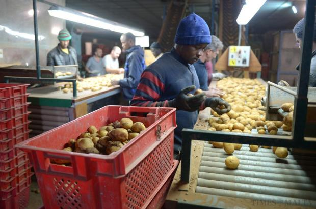 Workers sort through potatoes at the potato grading facility in Ta'Qali on April 24. Photo: Matthew Mirabelli