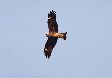 A black kite flying over Buskett. Photo: Aron Tanti