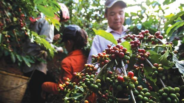 Farmer Quang Van Khanh, his wife Tam and daughter Duyen pick coffee cherries at their farm in Son La province, west of Hanoi. Vietnam is among the emerging trading nations to join India and China to record significant trade growth in the next three years. Photo: Reuters