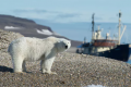 Polar bear 'invasion': climate change increasing human-wildlife conflicts