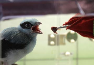 Puppet plays mother as zookeepers hatch plan to save endangered magpie