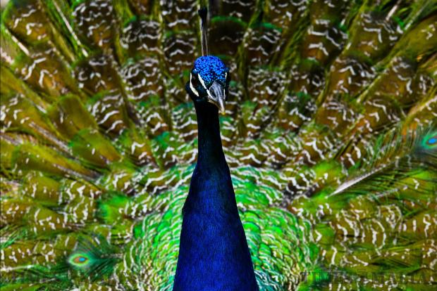 A male peacock in full, mesmerizing colour at the gardens of the Presidential Palace in San Anton, Attard on April 24 Photo: Jonathan Borg