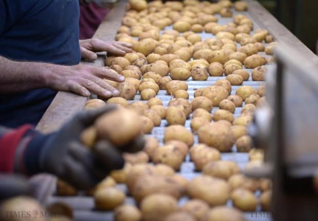 Workers sort through potatoes at the potato grading facility in Ta' Qali on April 24. Photo: Matthew Mirabelli