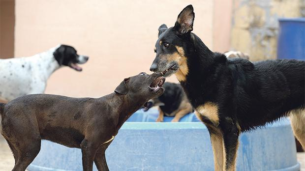 Playful Trixie (right), aged eight, is a German shepherd. She lived her life chained which is still not illegal.