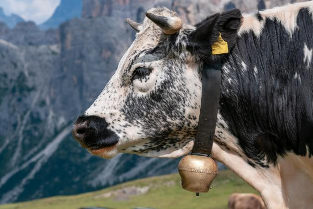 Austrian police hunt for cowbell thieves