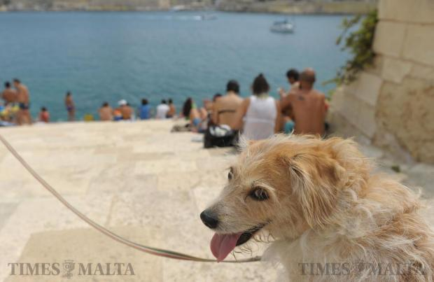 A dog enjoys the foreshore at Fort Manoel on September 12 after Kamp Emerġenza Ambjent took matters into its own hands and cut through one of the gates to set up camp below the fort. Photo: Matthew Mirabelli