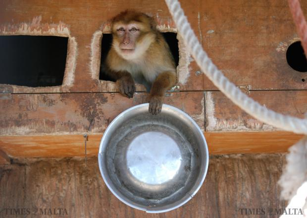A monkey holds up his empty bowl at a zoo in Siggiewi. Photo: Mark Zammit Cordina