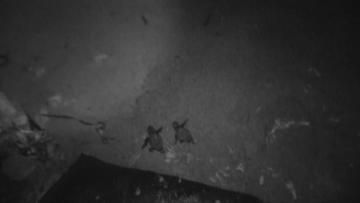 Watch: 100 turtles hatch at Ġnejna, right on cue | Video: Mark Zammit Cordina/ ERA