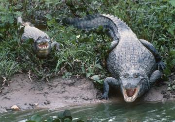 Brazil flooding unleashes caimans in Rio neighborhood