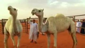 UAE company turns camel milk into baby formula