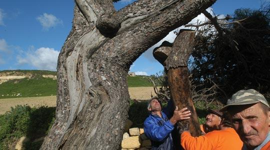 Rabat's crucifix-shaped tree was supported back into place yesterday after it was uprooted by strong winds on Thursday. Photo: Chris Sant Fournier.