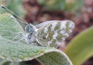 Bathwhite butterfly