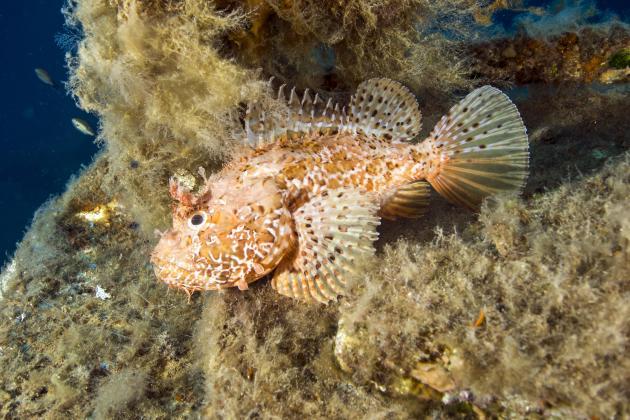 Quiet beaches have drawn venomous fish closer to shore