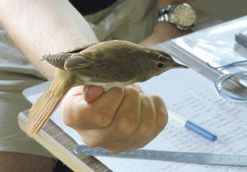 One of the species ringed at Għadira. Photo:BirdLife Malta
