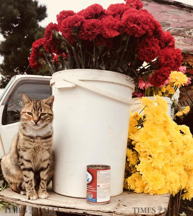 A cat stands on a table near a bucket of red flowers in Paola on January 24. Photo: Mark Zammit Cordina