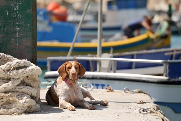 A dog sits on the quay at Marsaxlokk, observing the comings and goings on July 26. Photo: Chris Sant Fournier