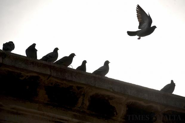 A pigeon takes flight in Valletta on February 2. Photo: Chris Sant Fournier