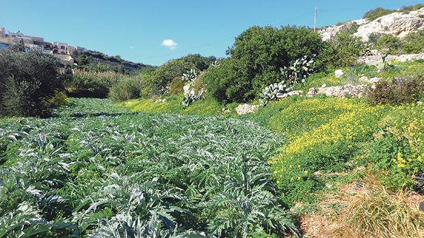 At a tranquil farming area near L'Imbordin, stone earmarked for land reclamation is to be mined as a by-product of the Malta-Gozo undersea road link. Photo: Anne Zammit