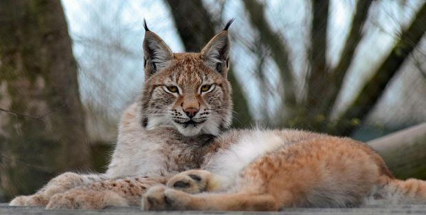 Undated handout file photo issued by Borth Wild Animal Kingdom of Lilith, a young Eurasian lynx which escaped from the wildlife park in Wales.