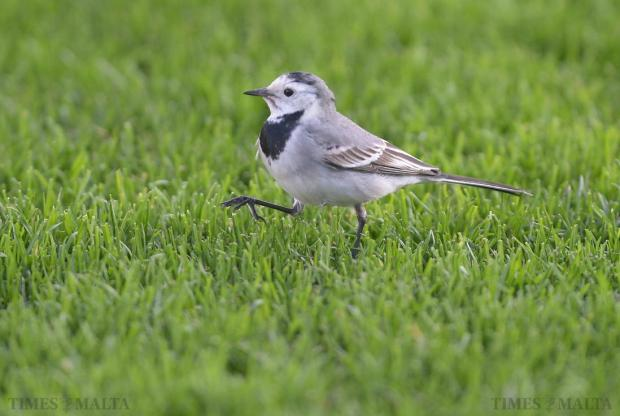 A white wagtail goes for a stroll on the grass at the National Stadium in Ta'Qali on January 18. Photo: Matthew Mirabelli