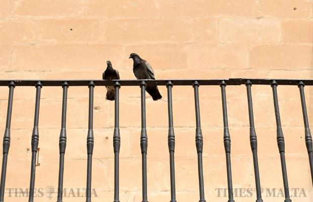 Two pigeons perch themselves on the Casino Maltese railings in Valletta on April 20. Photo: Chris Sant Fournier
