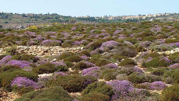Garigue dominated by thyme in Comino in June 2012.