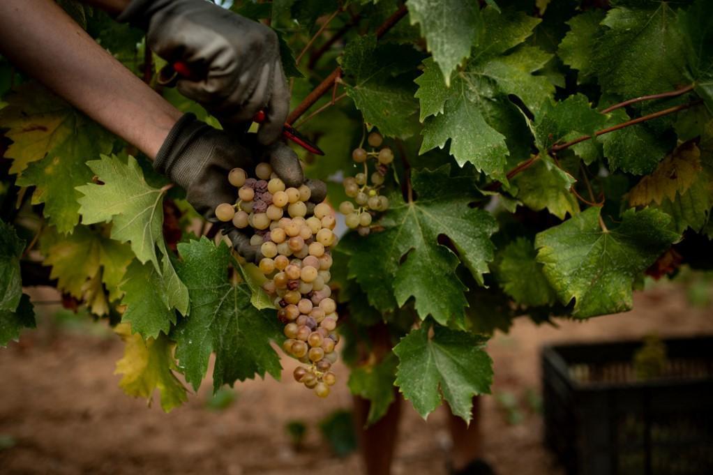 Los enólogos en España están avanzando con la temporada de cosecha para adaptarse a climas más cálidos y utilizar uvas más tolerantes al calor.