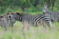 150-year-old mystery of zebra's stripes solved