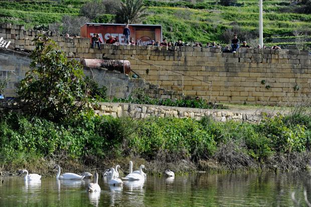 An impromptu crowd gathered to admire the swans. Photo: Steve Zammit Lupi